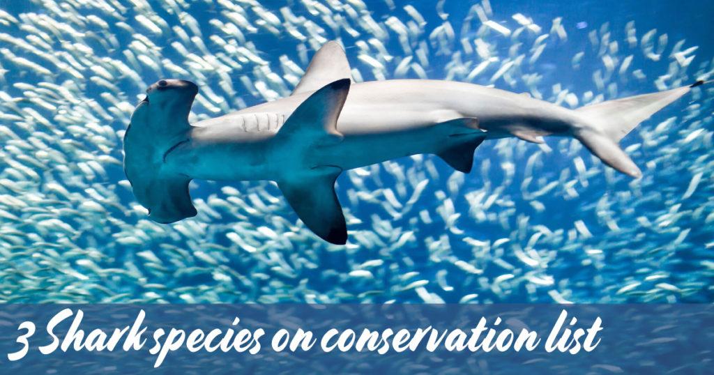 3-Shark-species-on-conservation-list