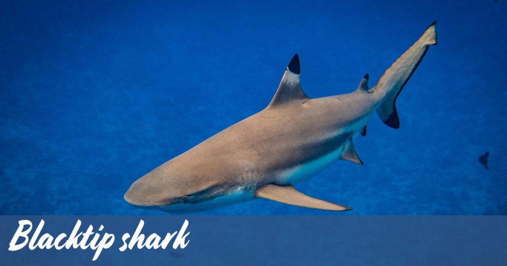 Blacktip shark around Koh Tao