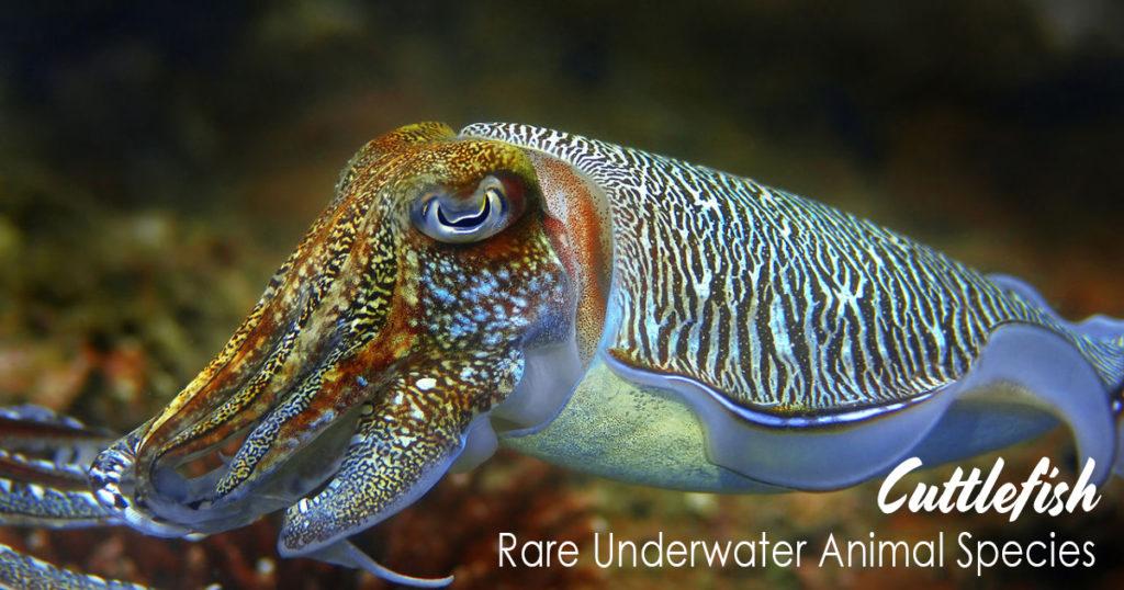 Cuttlefish Rare Underwater Animal Species